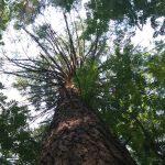 puun latvus
